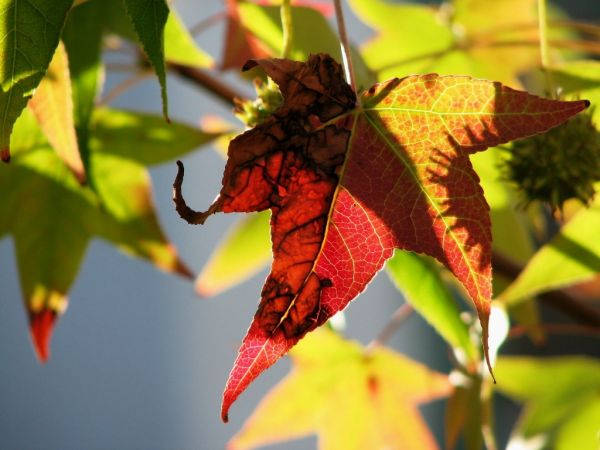 another view of that sweetgum leaf