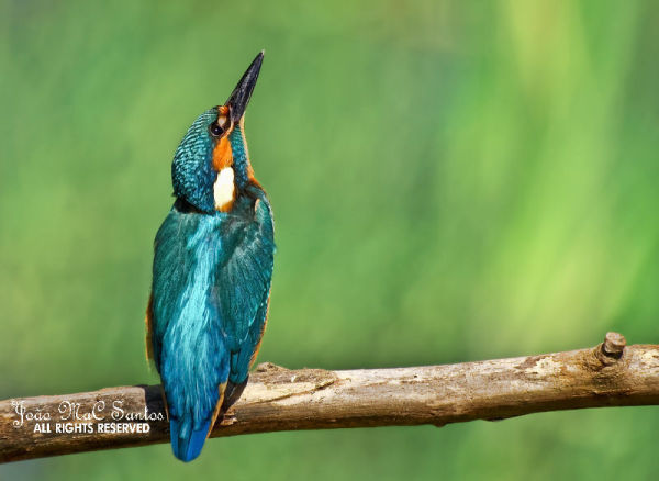 The kingfisher images - II