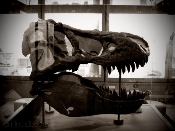 Tyrannosaurus Rex t-rex skull museum