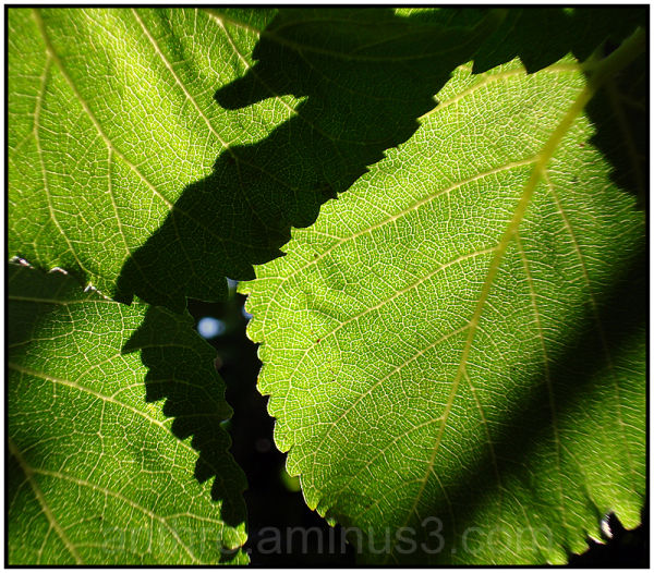 light leaf mulberry tree