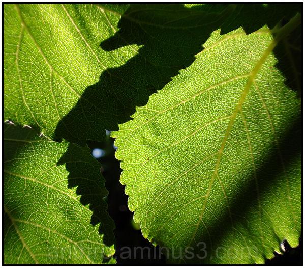 light leaf mulberry tree
