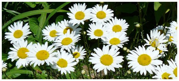 Pushing Up Daisies  ...
