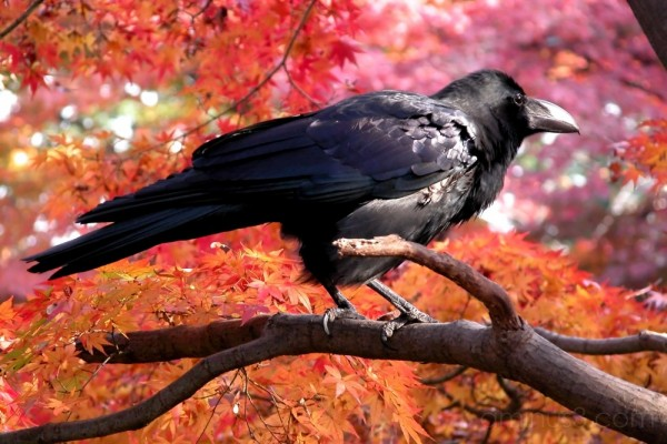 A raven among maple leaves in autumn, Tokyo