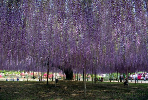 Centenarian wisteria at Ashikaga Flower Park