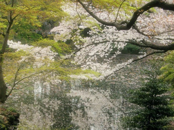 Spring around the ponds at Shinjuku Gardens,Tokyo