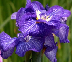Iris Gallery: night blue