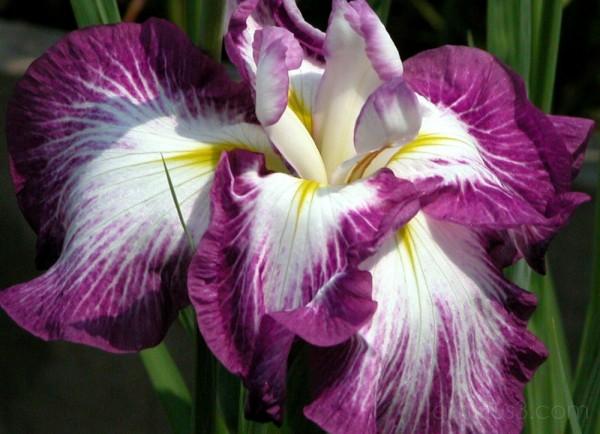 Portrait of an iris, Horikiri garden,Tokyo