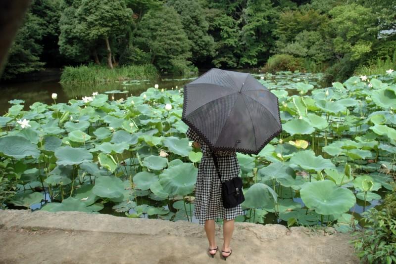 A visitor at Genpei Pond,Kamakura