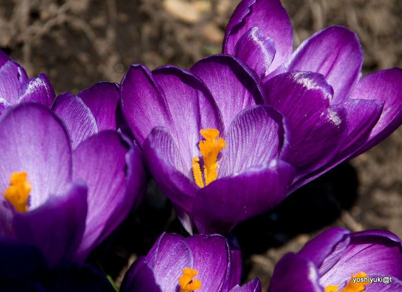 Crocus, fresh flowers of spring
