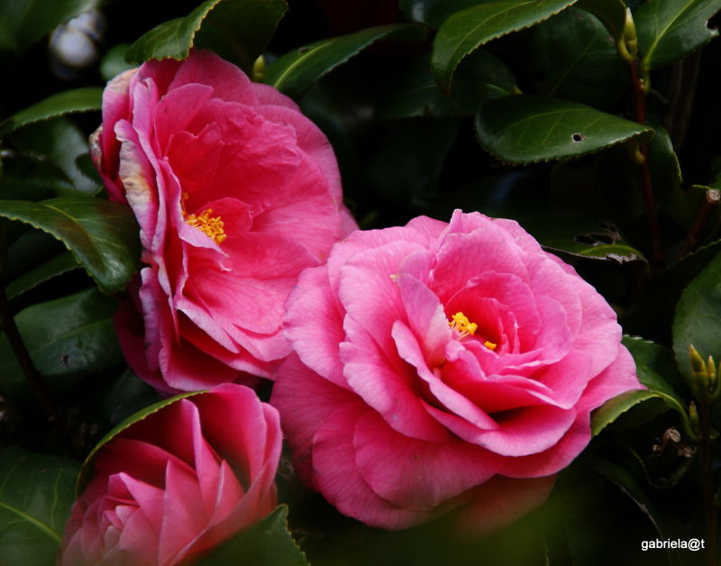 Posh camellias,Yakushiike,Machida