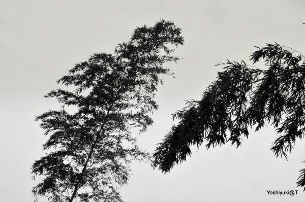 Courtship of bamboo trees, Wakabadai