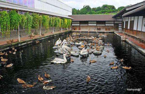Pool of waterfowl, Kakegawa Kachoen