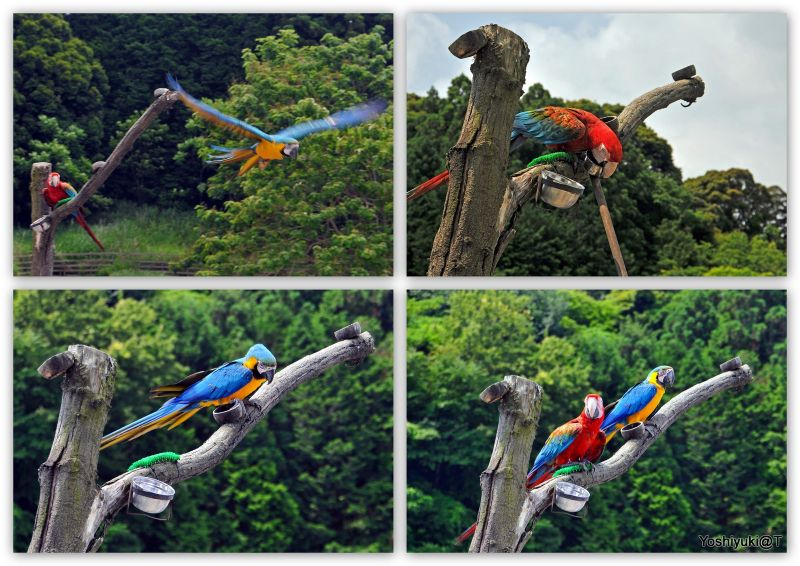 Two performers - The Macaw Brothers (or Sisters ?)