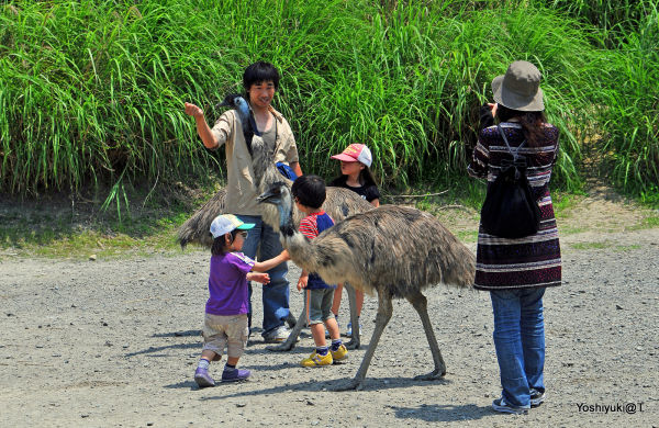 Family having fun in the Emu pen, Kakegawa Kachoen
