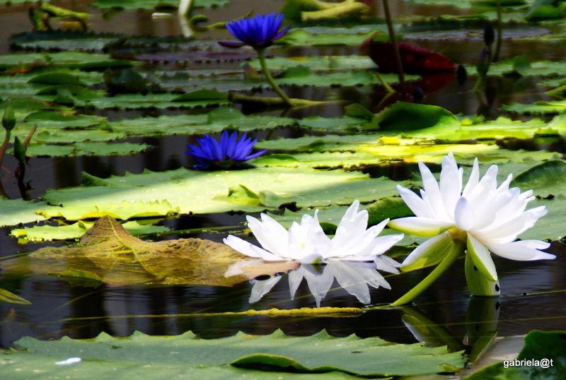 Tropical Water Lily,Kakegawa Kachoen,Shizuoka