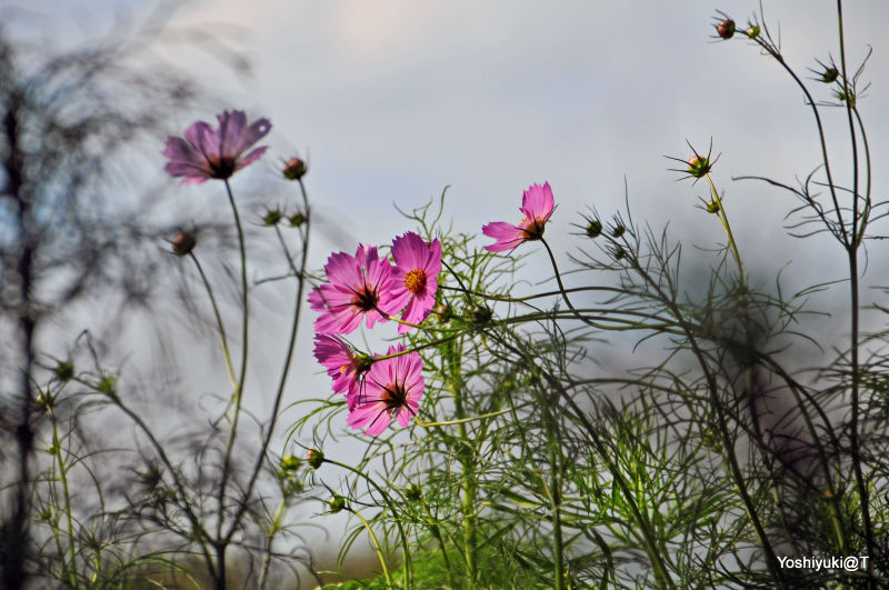 Among the cosmos flowers,Showa Park,Tokyo