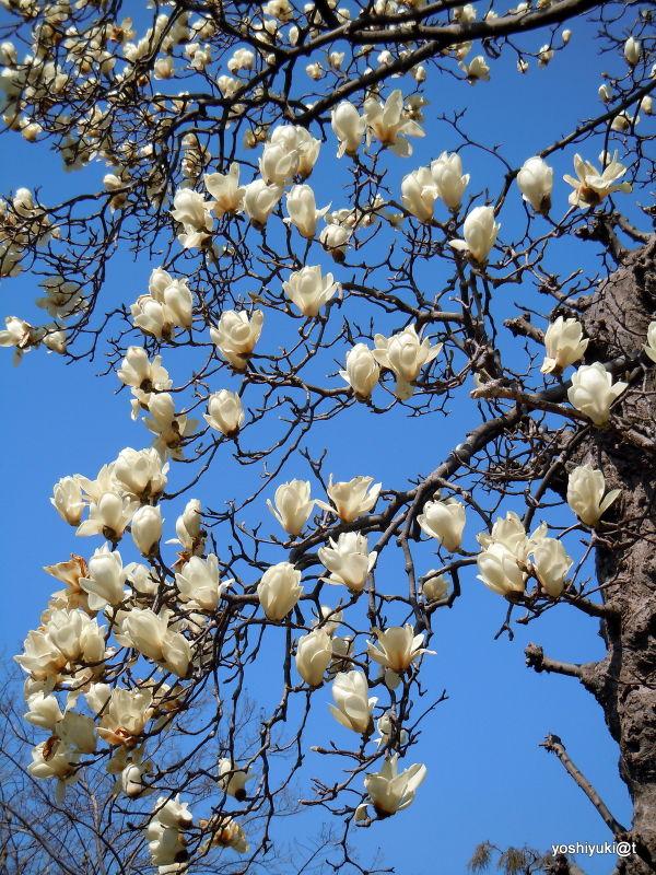 A branch of magnolias,Kanagawa