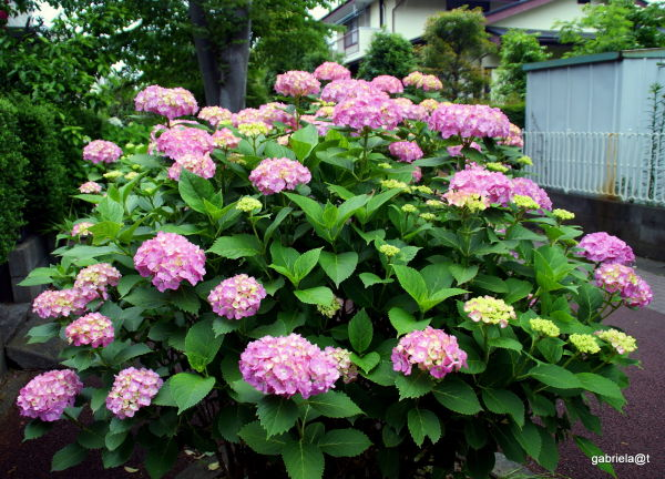 Flowers of the rainy season:Hydrangeas, Kanagawa