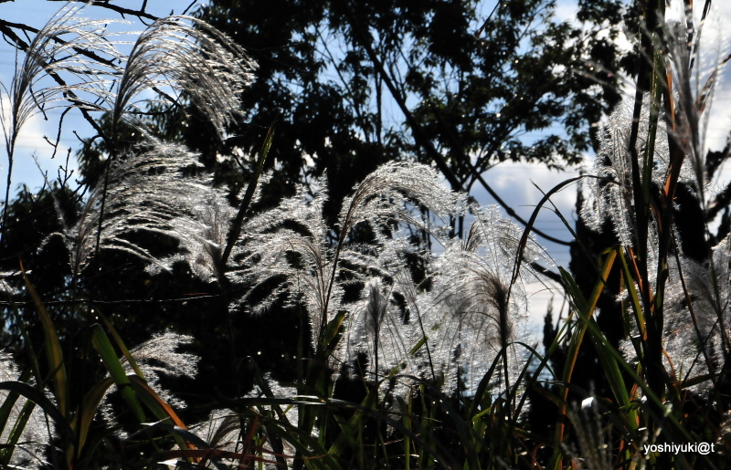 Silver grasses in the light, Kanagawa