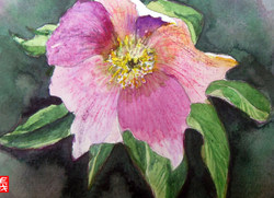 On the second day of Christmas....A Christmas Rose