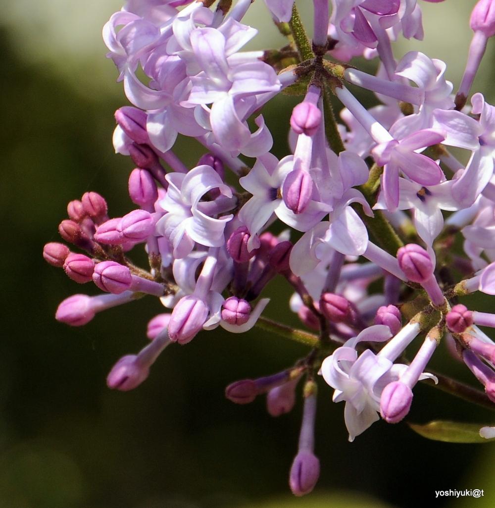 Lilac blossoms,Kanagawa