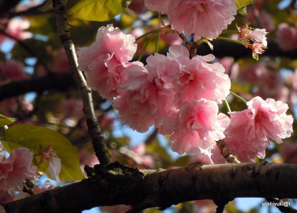 Kwanzan cherry blossoms, Kanagawa