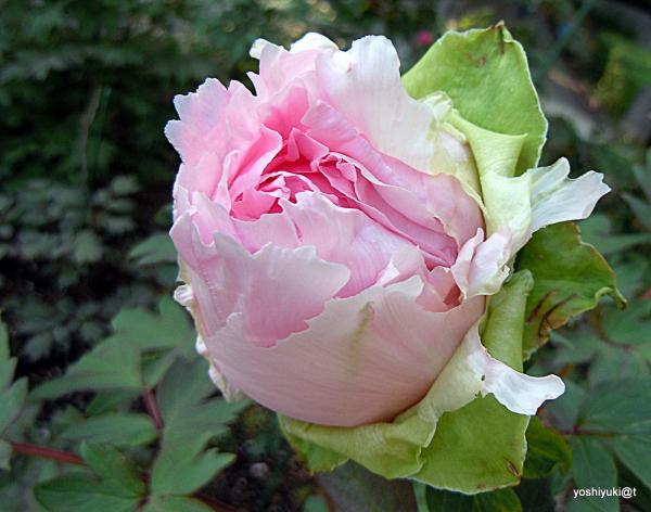 Peony, a pink bud
