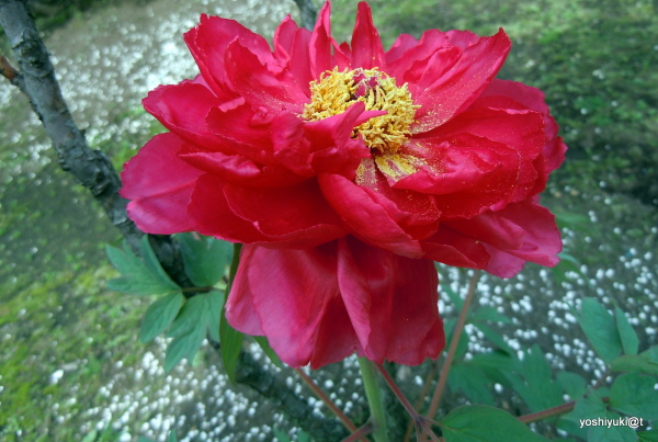 The Red Tree Peony