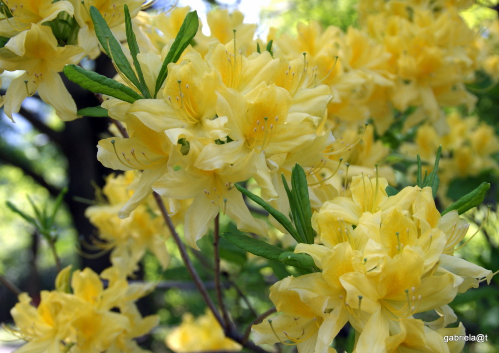 Yellow azaleas of Hokkaido