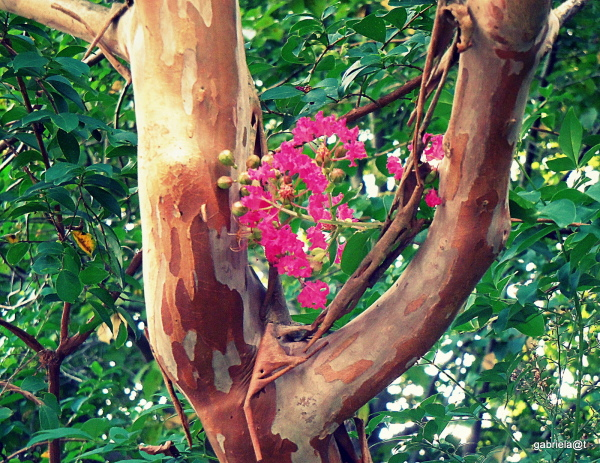 In the fork....crepe myrtle tree and flowers