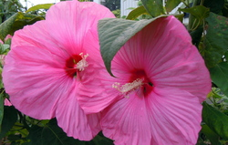 Photos from Satoyama: Grand'pa's hibiscus