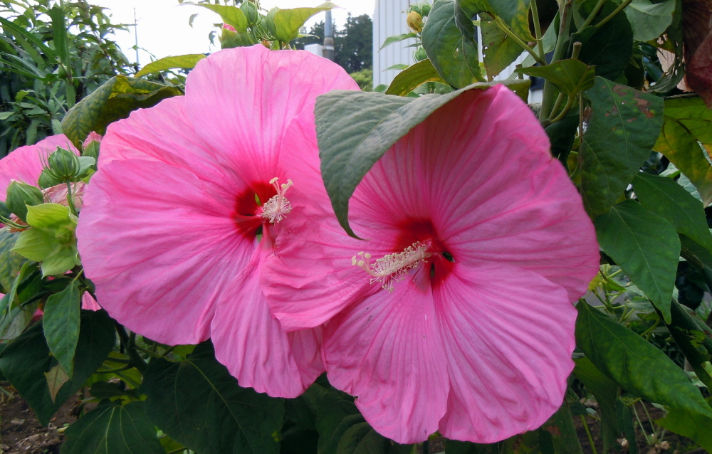 Hardy hibiscus, the pink variety