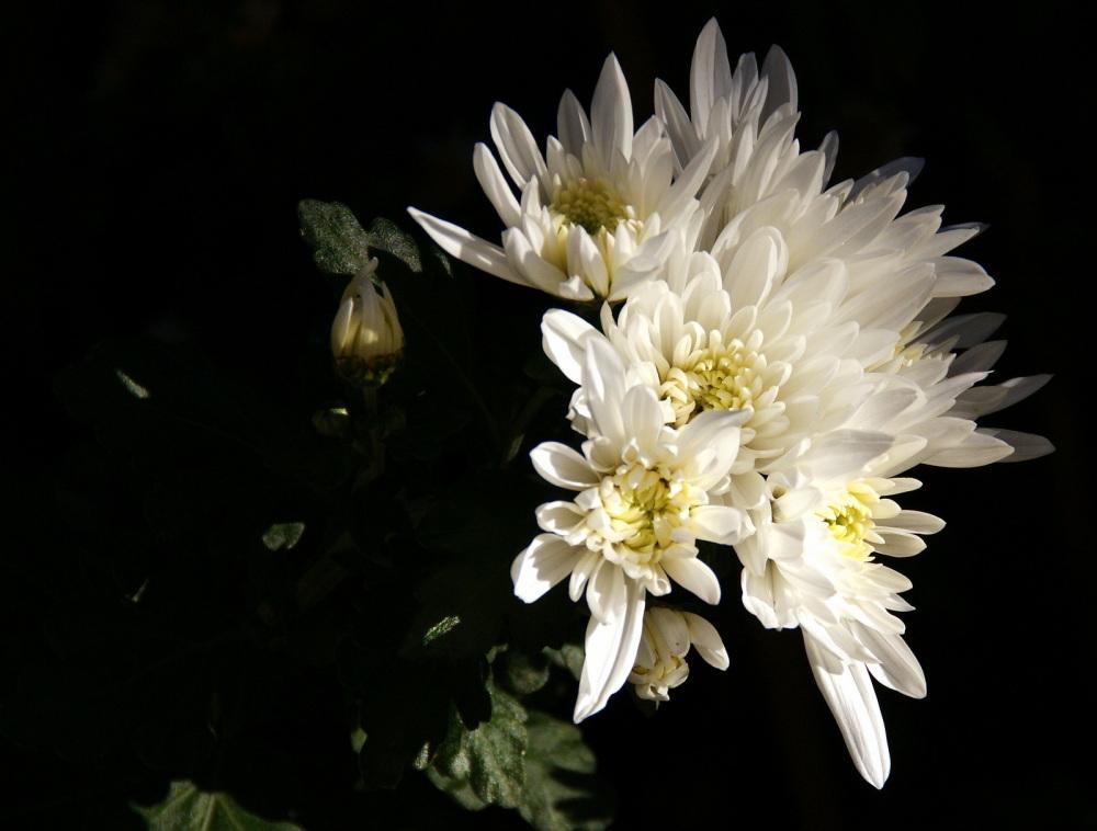 Autumn's flowers - chrysanthemums