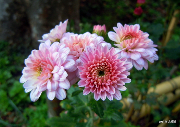 Garden chrysanthemums- one of many varieties