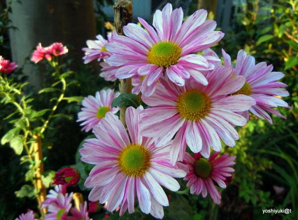 Chrysanthemums blooming in the garden