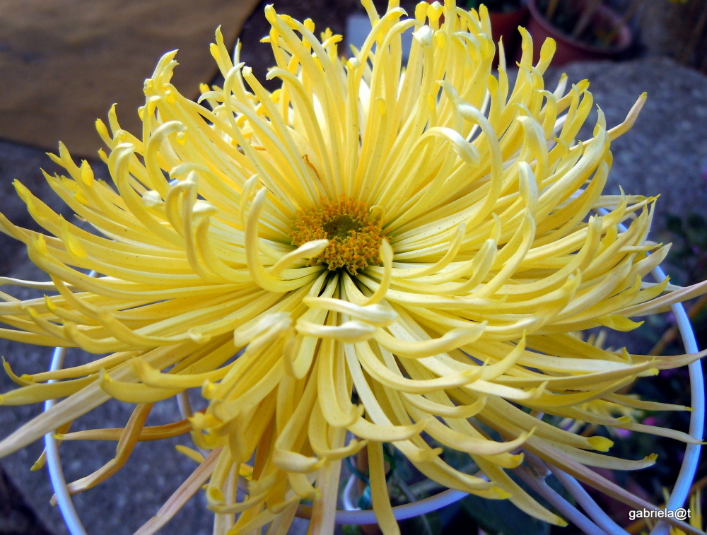 The sun in winter - chysanthemum in December