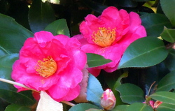 A couple of camellias...