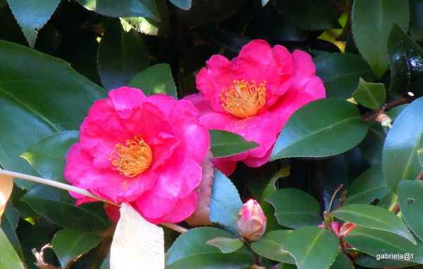 A couple of camellias in bloom