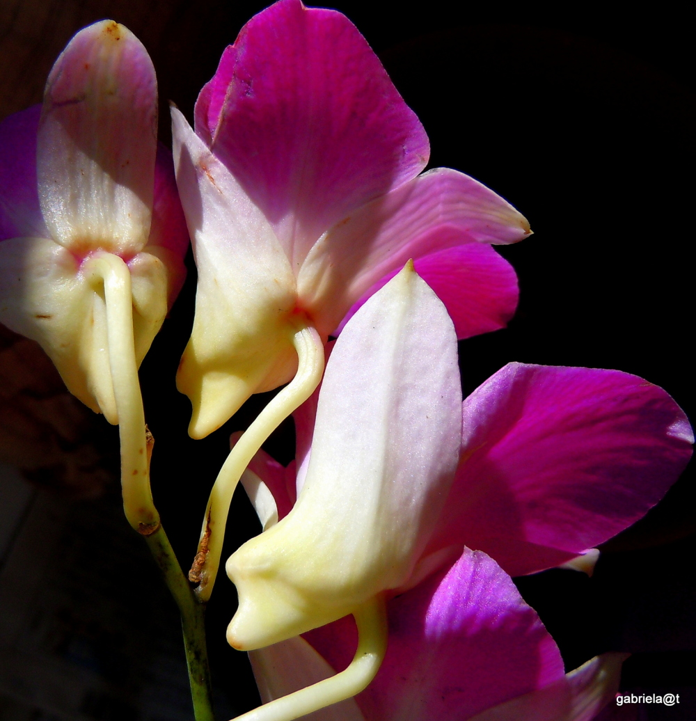 Orchids playing the odalisques...