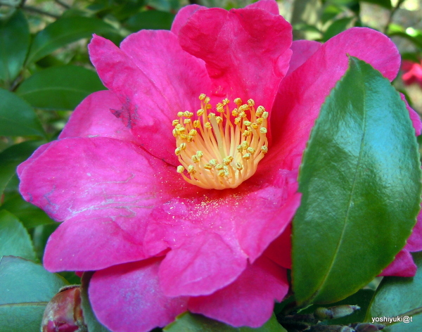 Camellia sassanqua in full bloom in January