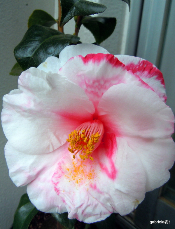 My own Camellia Japonica