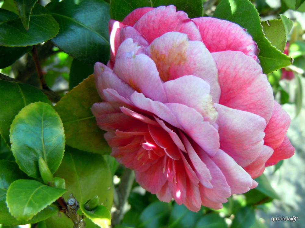 Lady Camellia beyond her prime