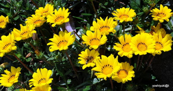 Gazania in yellow