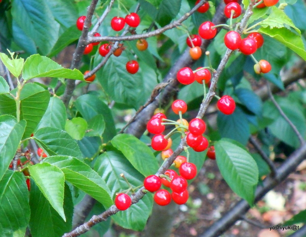 Cherries of May in the trees