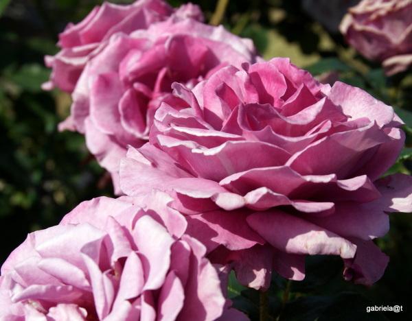 Roses in lavender pink...