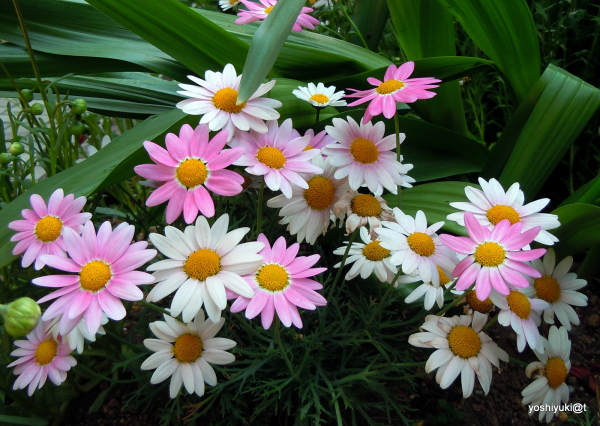 White and pink daisies