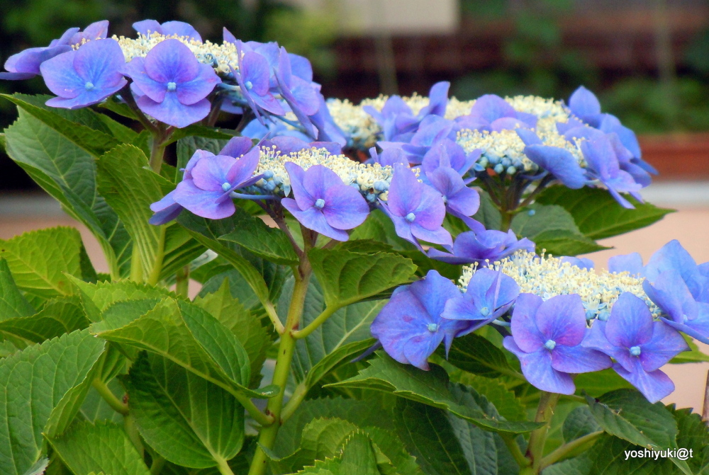 Lace-cap hydrangeas in blue