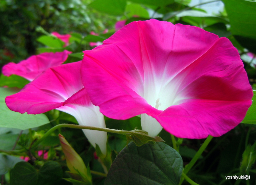 We had a change of skirts - morning glories