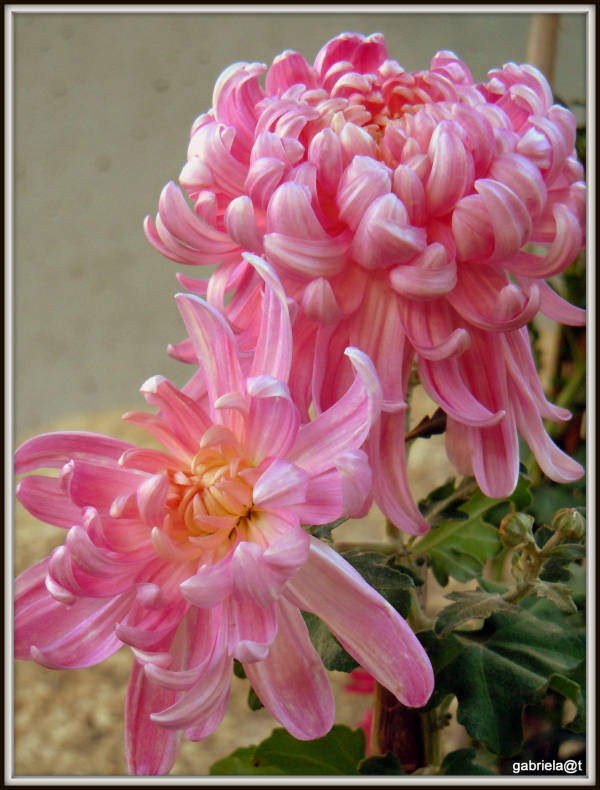 Chrysanthemums - my birthday flowers