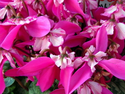 A pot of cyclamen looking like ribbons